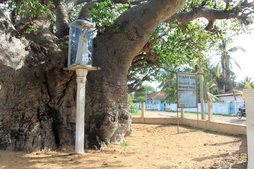 Baobab, Mannar
