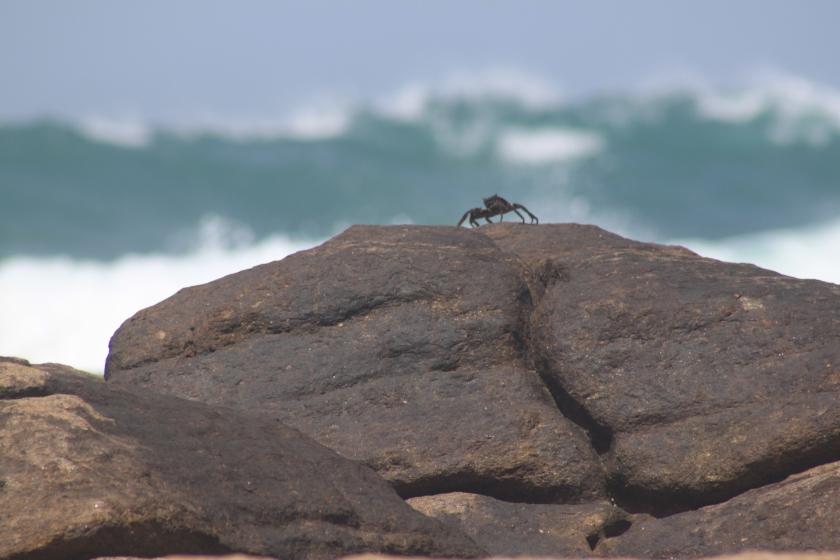 Crab, Dondra Head