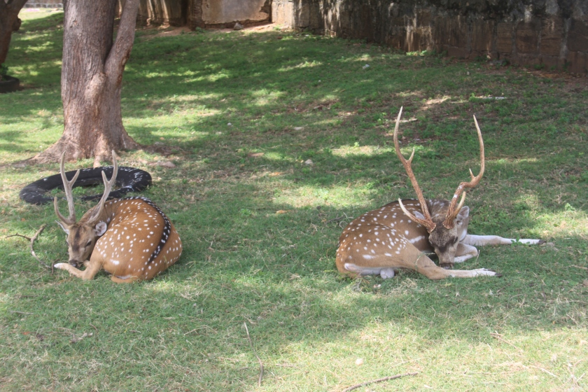Spotted deer, Fort Frederick, Trincomalee