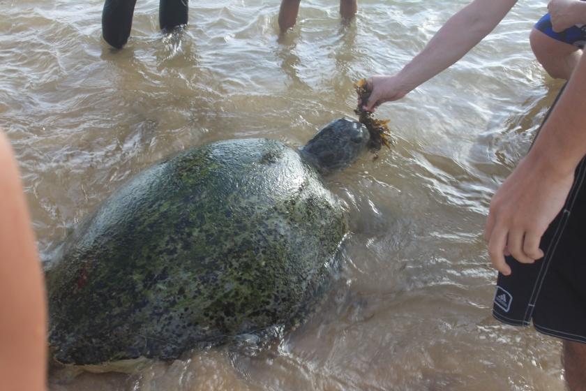 Tame turtle, Hikkaduwa